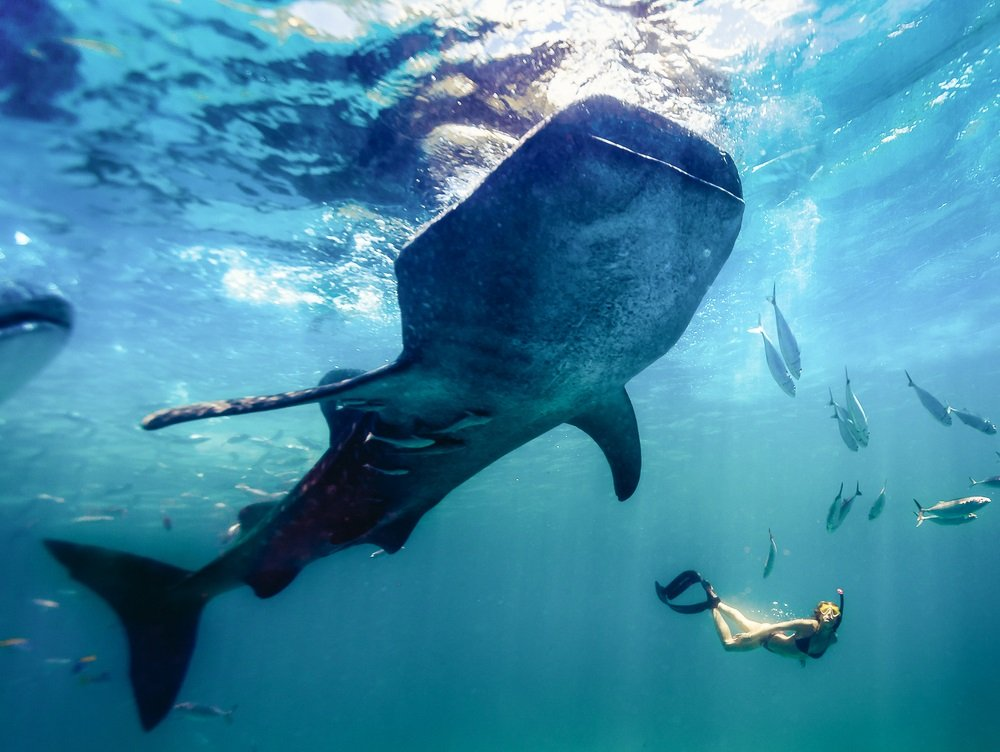 girl swimming with the whale shark