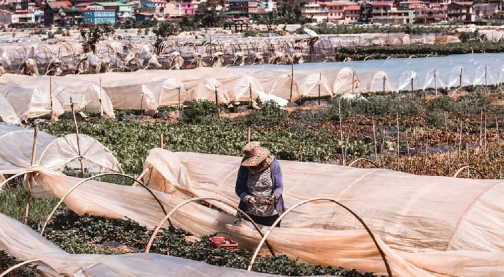 a woman picking strawberries at la trinidad staycation in baguio
