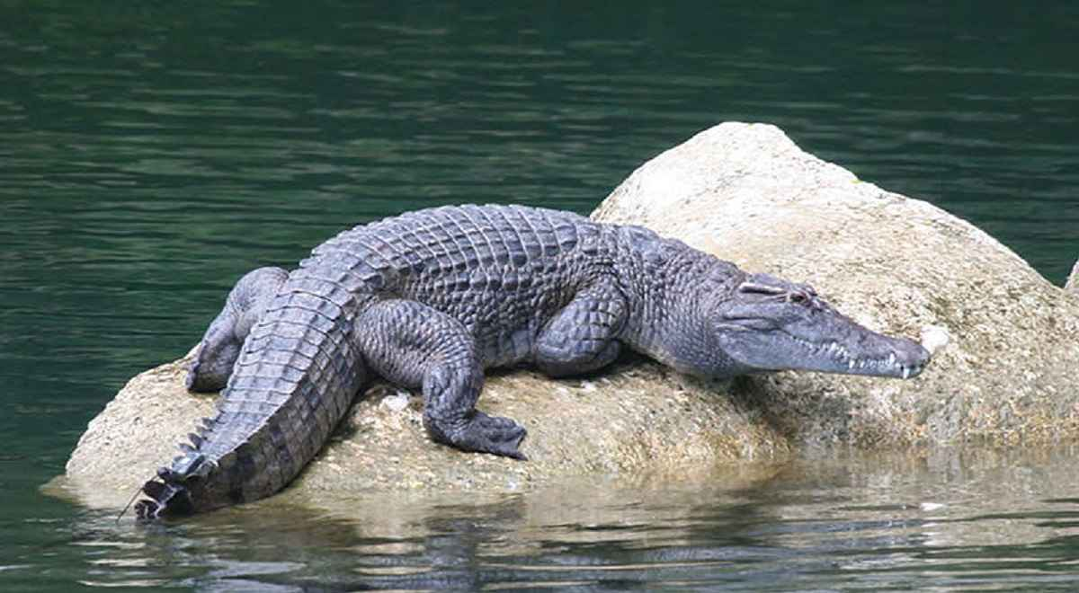 Philippine Crocodiles endangered species in the philippines
