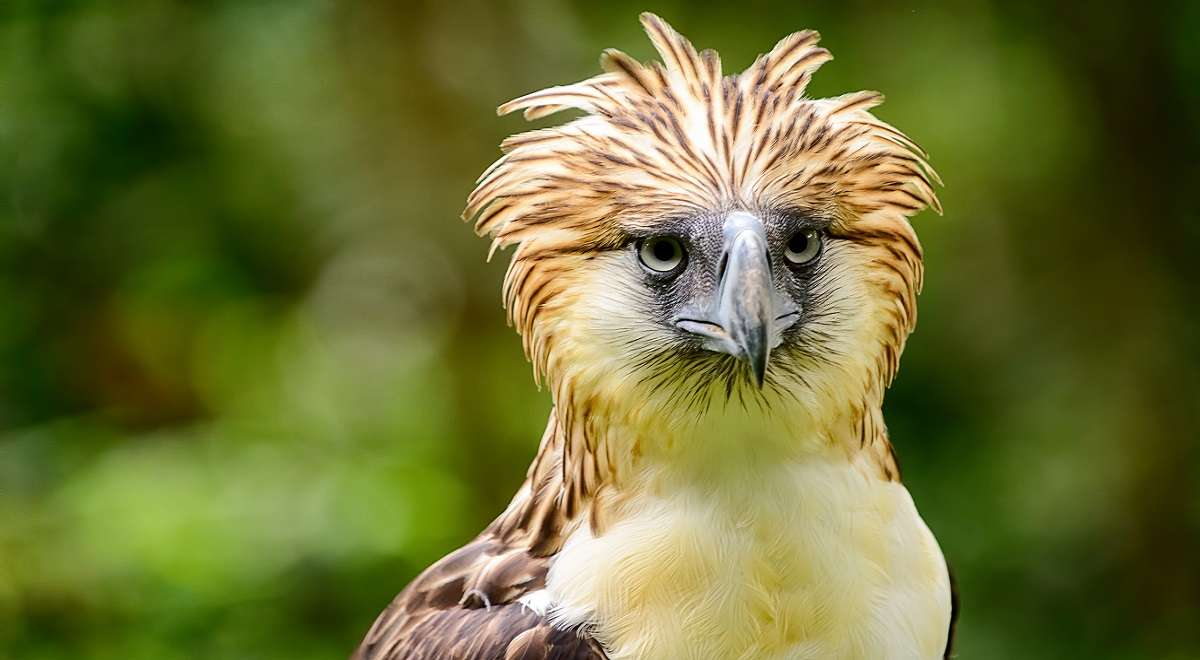 Philippine eagle endangered species in the philippines